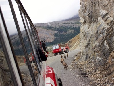 Big Horn Sheep, Athabasca Glacier, Jasper National Park.