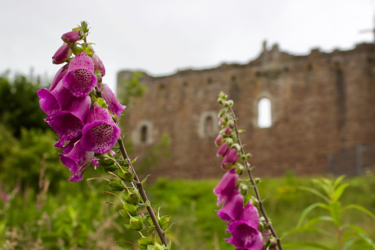 Foxgloves, Duone Castle, Scotland