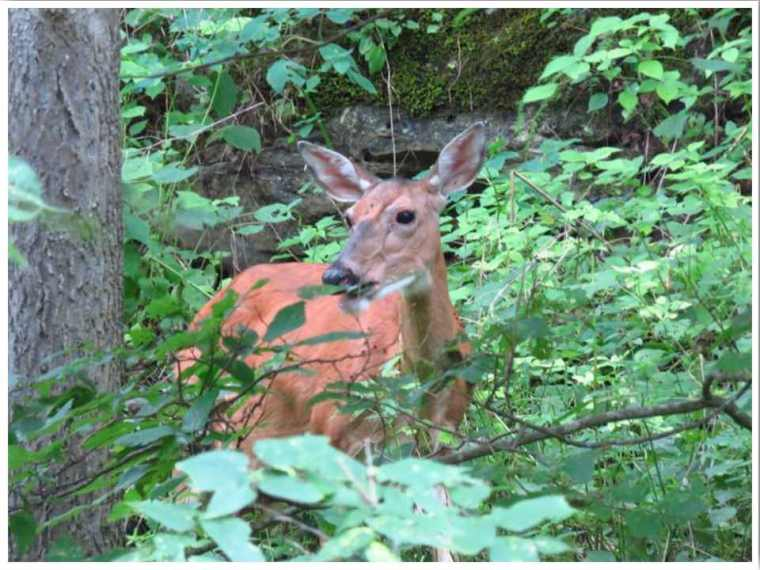 Maquoketa Caves State Park Deer