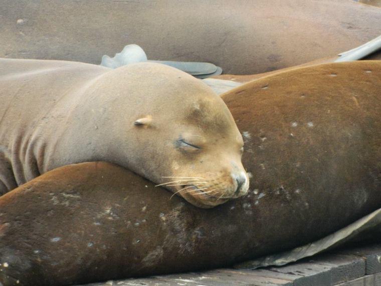 Pier 39 San Francisco Sea Lions