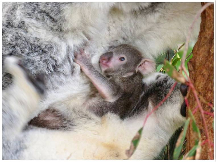 Winter in Australia Baby Koala