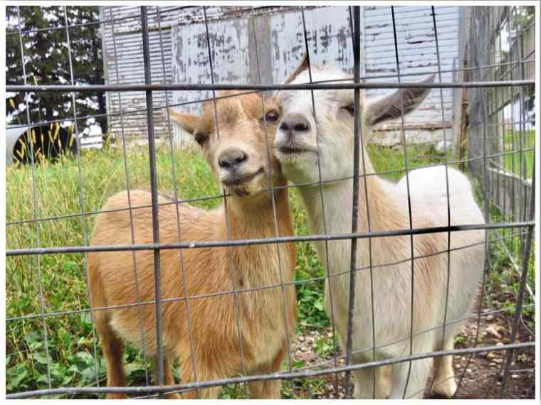 Country Heritage B&B goats Hampton Iowa