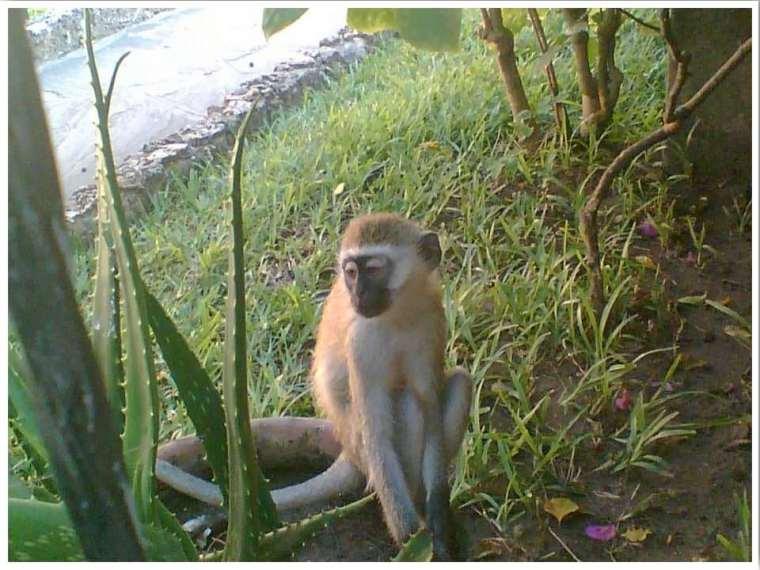 Mombasa Kenya Monkeys in Hotel