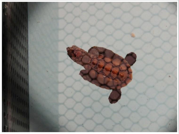 Turtle Hospital Marathon Florida Sea Turtle Hatchling