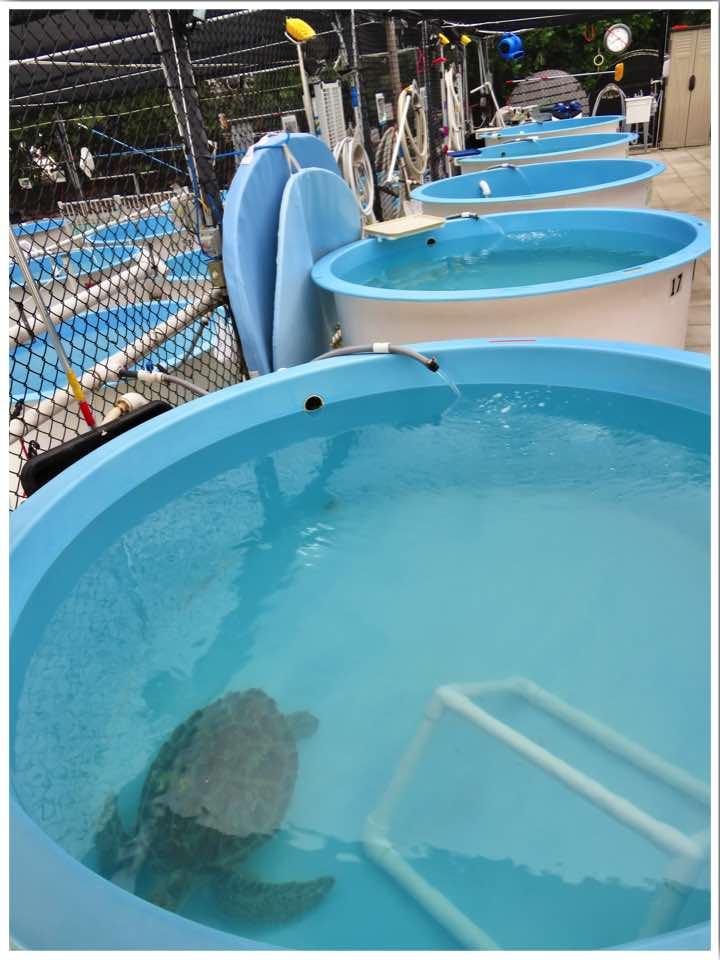Turtle Hospital Marathon Florida Sea Turtle Rehabilitation