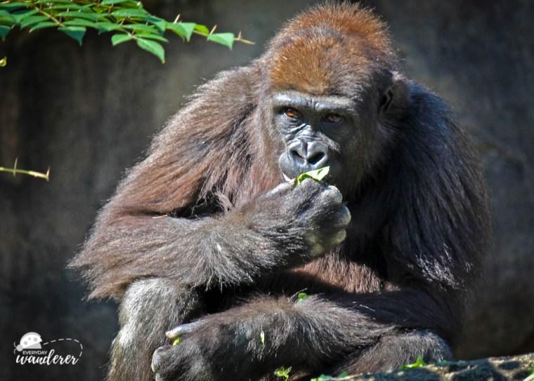 Gorilla at Cincinnati Zoo - Photo credit: Sage, Everyday Wanderer