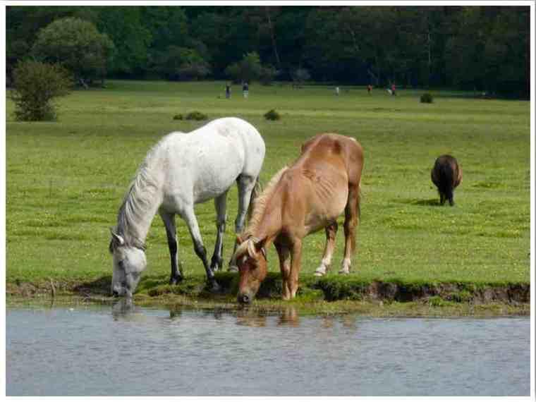 Balmer Lawn Ponies Brockenhurst New Forest
