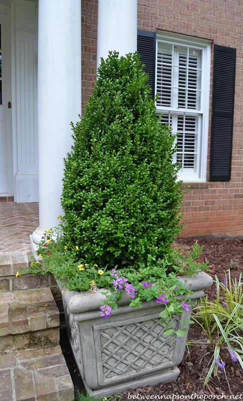 Pyramidal Boxwood Topiaries in Containers for a
