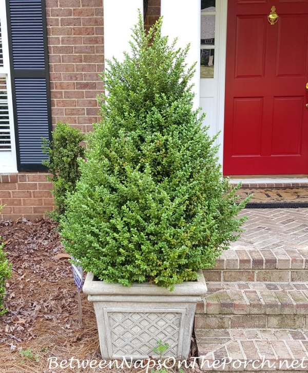 Trim Green Mountain Boxwood Topiaries Back Into a Pyramid