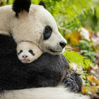 Fun facts about pandas on National Panda Day