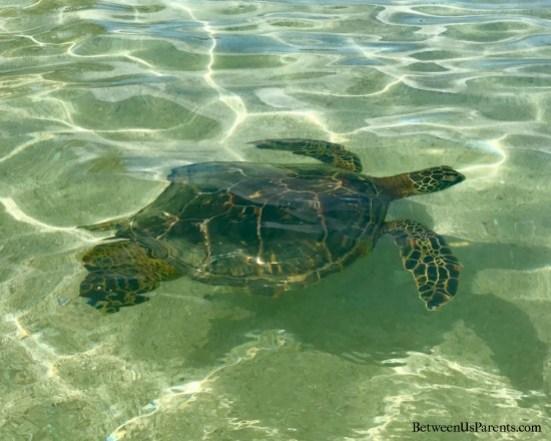 Hawaiian Green Sea Turtle at Paradise Cove near Aulani in Ko olina on Oahu