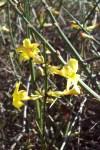 Forsythia blossoms