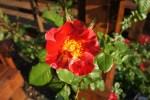 Rose in Reuben
