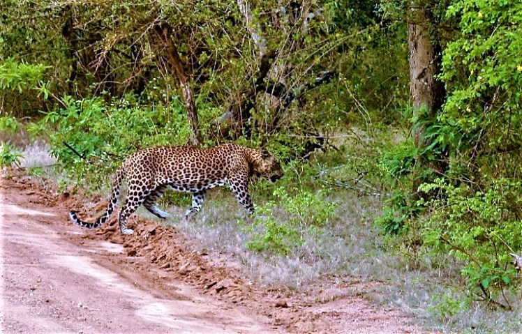 Spotting a Leopard in Yala National Park, Wildlife is a varied thing to do in Sri Lanka