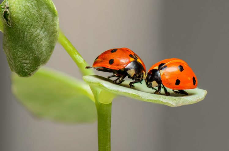 two lady birds on a leaf
