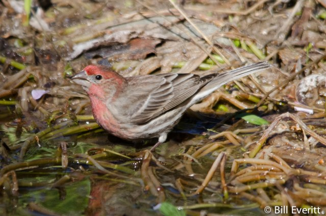 Male House Finch taking a drink in the edge of the pond
