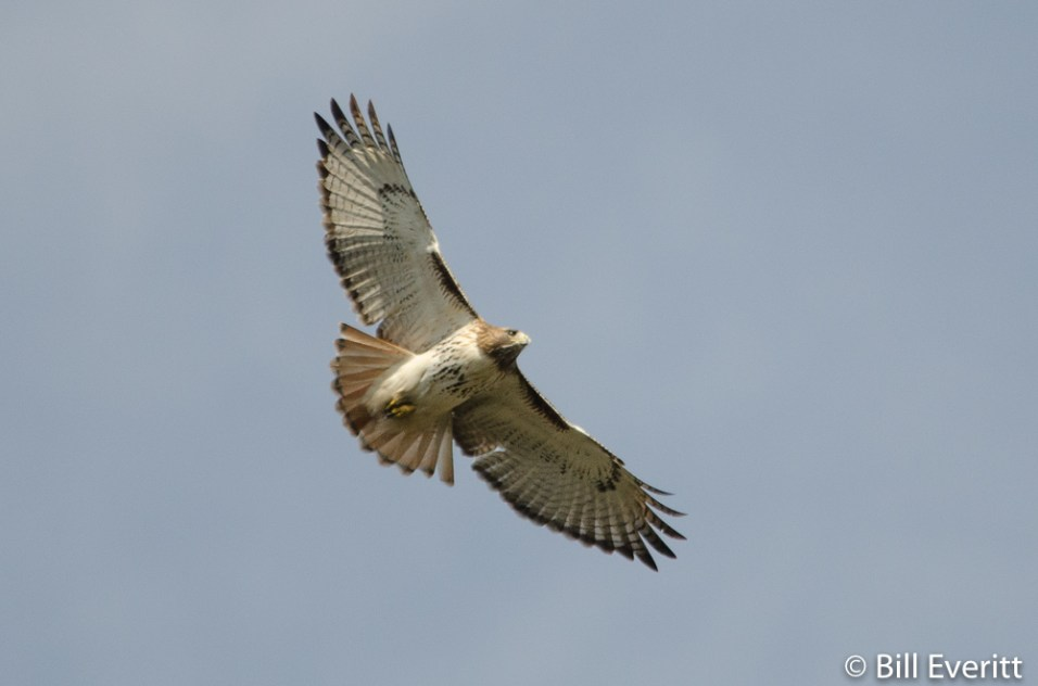 Red-tailed Hawk - Buteo jamaicensis