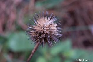Cone Flower seedhead