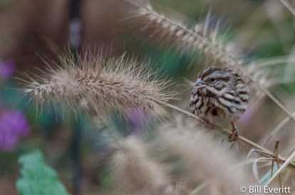 Song Sparrow on native grass