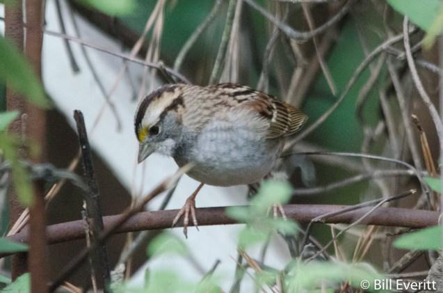 White-throated Sparrow - Zonotrichia albicollis Peachtree Park, Atlanta, GA - January 3, 2016