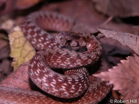 Dekay's Brown Snake - non-venomous