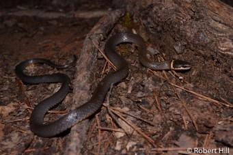 Ringneck Snake - non-venomous