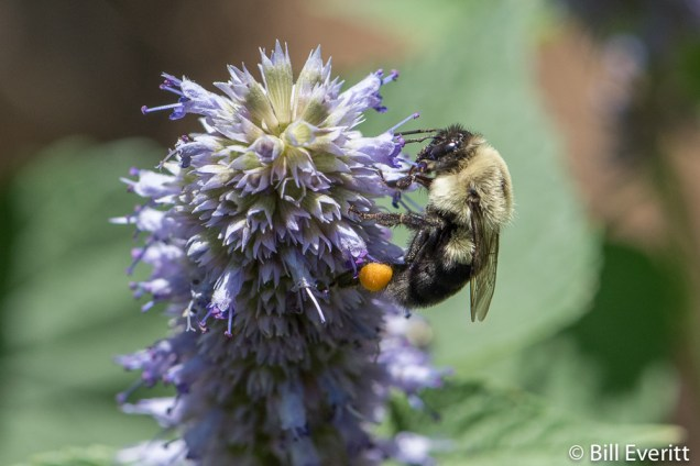 Native Bee on Agastache