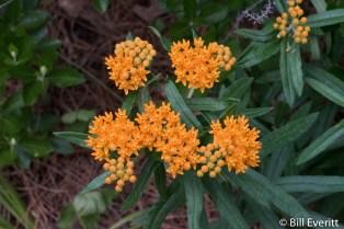 Butterfly Weed (Milkweed)