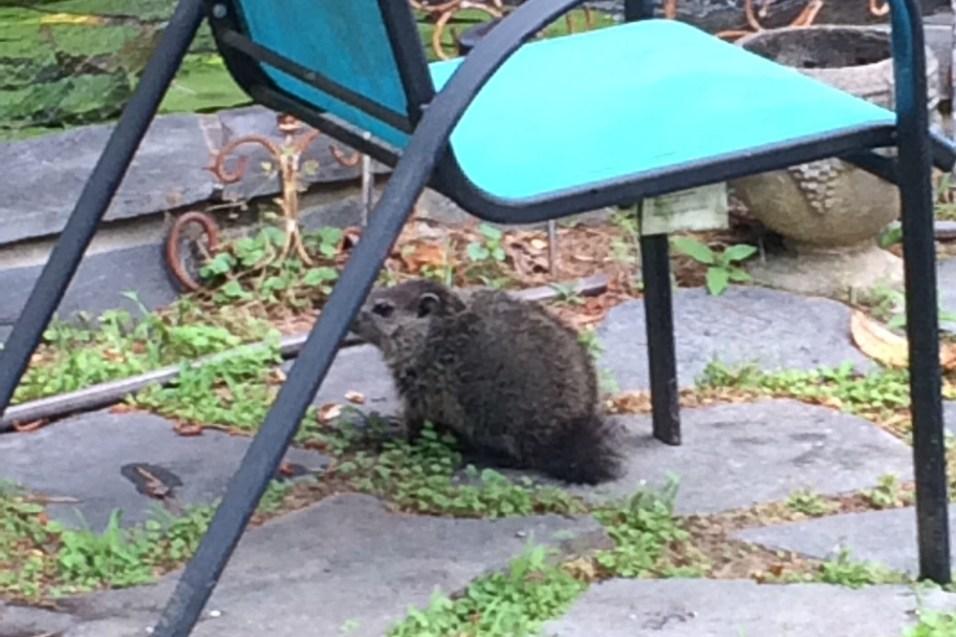 Groundhog aka Woodchuck aka Whistlepig