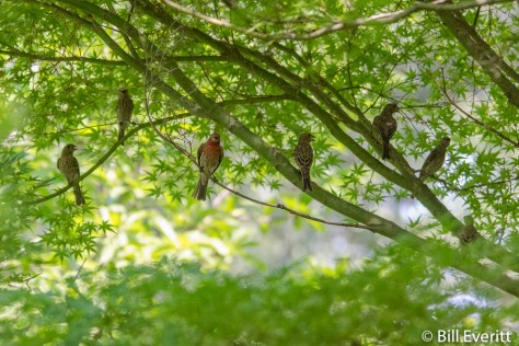 House Finch gathering