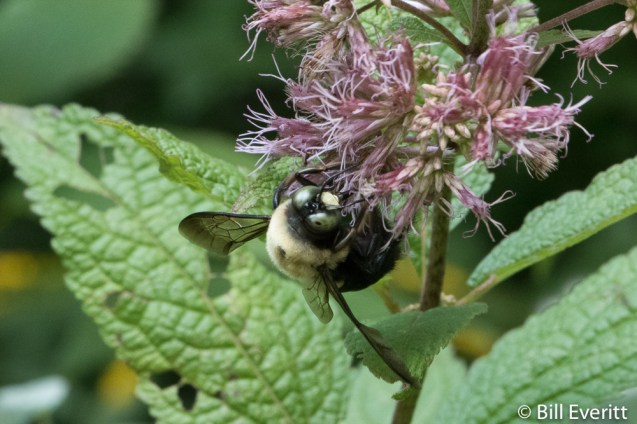 Native Bee on Joe Pye Weed