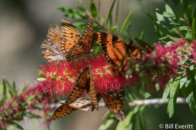 Gulf Fritillaries on Bottlebrush