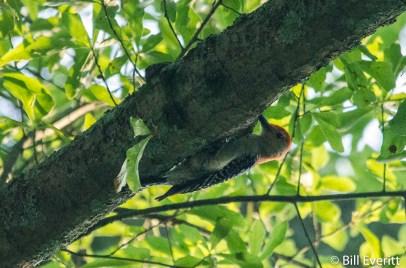 Red-bellied Woodpecker in Darlington Rd. White Oak