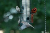 House Finches and Northern Cardinal
