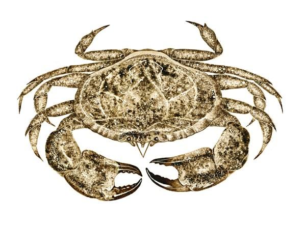 brown crab walnut ink painting