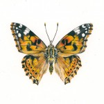 Painted Lady Butterfly painting