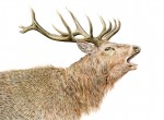 red-stag