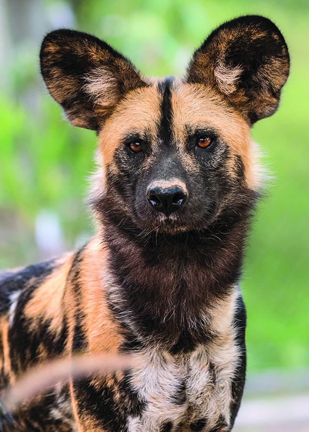 African Painted Dogs Debut At The LA Zoo Park Labrea
