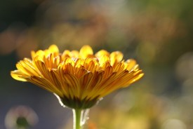 calendula, single flower, bev scott author