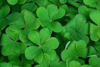shamrocks st. patrick's day