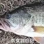 瀬田川釣果 46cm!! (bv六文銭)