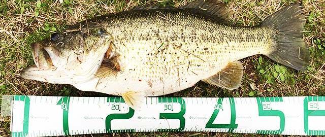 お客様からの釣果:里様~琵琶湖おかっぱり58cm!!