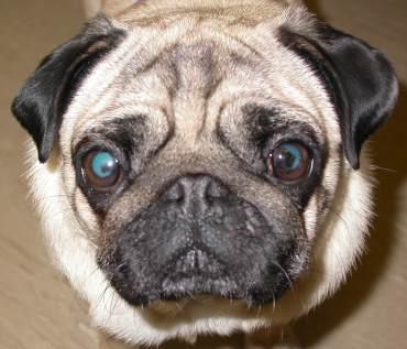 pigmentary-keratitis-pada-anjing