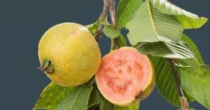GUAVA LEAVES cure cancer