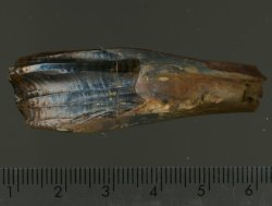 FOS-004 - Iguanodon Tooth,