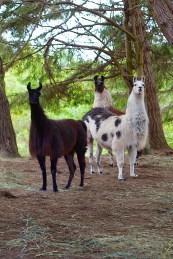 Hello Llamas!