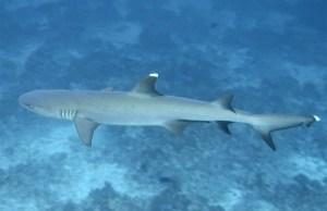 Tauchen auf Filitheyo Weißspitzenriffhai