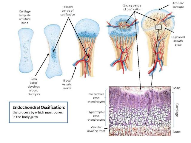 endochondral ossification and long bone growth |, Wiring diagram