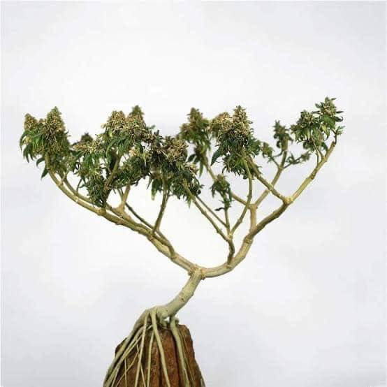 Spectacular Cannabis Bonsai Trees And How To Grow Them Blindfold