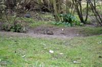 A vole scavenging fallen seeds